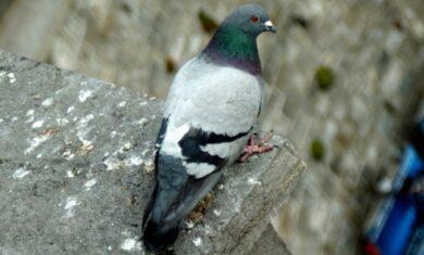 rimozione-guano-piccioni
